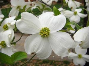 Eastern Dogwood in bloom.